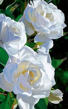 The best and most beautiful paintings Internatioanl brilliant flowers from everywhere in the world Beautiful Rose Flowers, Flowers Nature, Amazing Flowers, Pretty Flowers, White Flowers, Good Morning Flowers, White Gardens, Flower Pictures, Flower Wallpaper
