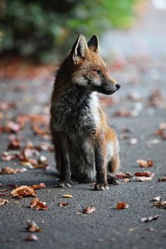 brutalgeneration:  Young Urban Fox relaxing in Cotham Bristol, Ian Wade, www.ws-pa.com (by Disorganised Photographer - Ian Wade)