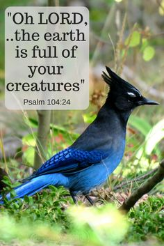 The Steller's Jay is one of God's creatures filling the earth with life, Sedalia, CO, Sept 14, 2017. Psalm 104:24