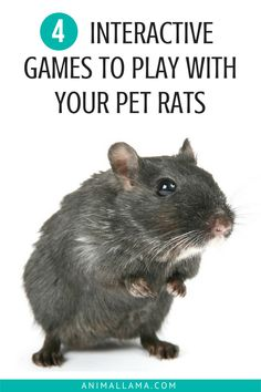 Prevent boredom among your pet rats and have fun playing games! This will be a great way to bond and add interest to the time you spend together. See our ideas for games to play with your rats! Diy Rat Toys, Pet Rat Cages, Animals And Pets, Cute Animals, Strange Animals, Rat Care, Bond, Fancy Rat, Games To Play