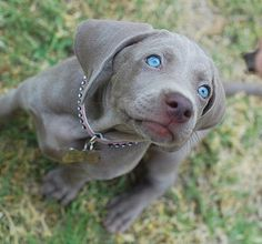 A Weimaraner pup. William Wegman was smart to surround himself with these beauties !