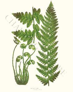 'Crested fern' giclee print via Charting Nature. http://www.chartingnature.com/fern-print.cfm/crested-fern-lastrea-cristata-fern-print/6276