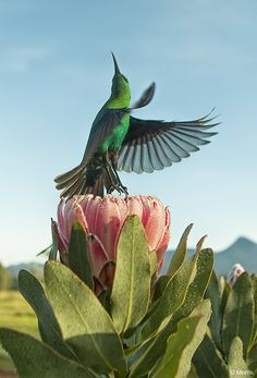 Malachite sunbird and Protea - Strike a pose by Dave Morris - Western Cape - South Africa South African Birds, African Safari, Love Birds, Beautiful Birds, Birds 2, Out Of Africa, Bird Pictures, Colorful Birds, Exotic Birds