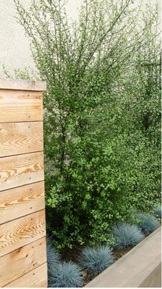 Pittosporum 'Silver Sheen', for backyard wall Privacy Landscaping, Landscaping With Rocks, Modern Landscaping, Front Yard Landscaping, Inexpensive Landscaping, Modern Backyard, Landscaping Software, Landscaping Tips, Pittosporum Silver Sheen
