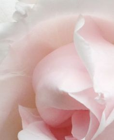 Soft pink rose ✿⊱╮