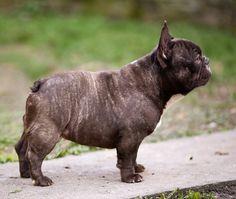 Brindle French Bulldog, Cute French Bulldog, French Bulldog Puppies, French Bulldogs, Dogs And Puppies, Cãezinhos Bulldog, Funny Animals, Cute Animals, Dog Pictures