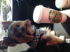 Yorkies like Starbucks too. This is so true! My bella loves the frapps ;-)