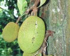 Jackfruit-Related to the breadfruit and marang, its buttery flesh is thick with fiber and often described as starchy in flavor. One popular way to prepare this fruit is to deep fry it into crunchy, delicious jackfruit chips.