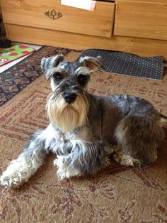 This is one super adorable salt and pepper mini schnauzer who is such a sweet, smart, loyal and the most loving little boy. His name is Zackary