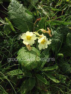 Wild primrose in Killarney Coast, Bloom, Plants, Plant, Planets