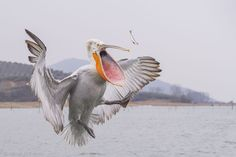 Dalmatian Pelican catching a fish thrown by the fisherman. During the winter time fishermen form Kerkini lake feed pelicans and help them to survive. There are more and more of those birds over there. Locals also build special platforms for pelicans to build nests.