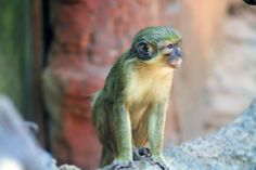 🔍 Monkey Primate Guenon - get this free picture at Avopix.com    🆕 https://avopix.com/photo/15014-monkey-primate-guenon    #monkey #primate #guenon #patas #squirrel monkey #avopix #free #photos #public #domain