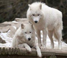 White Wolves                                                                                                                                                                                 More