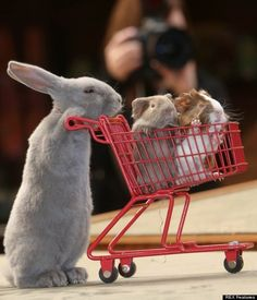 Bunny pushing guinea pigs in a grocery basket