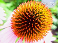 Coneflower: Macro photograph of purple by JantasticPhotos on Etsy