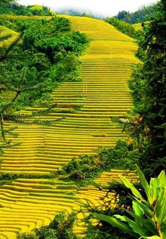 When the northwestern mountainous region enters the autumn, tourists have a chance to marvel at the most beautiful terraced fields in Vietnam with shiny yellows such as terrace fields in Mu Cang Chai, Sapa and Hoang Su Phi,. Visit Vietnam, Vietnam Tours, North Vietnam, Vietnam Travel, Asia Travel, Hanoi, Beautiful Vietnam, Vietnam Voyage, Exploration