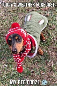 Baby it's cold outside💖🎄💕 winnie dogs, dachshund gifts, funny dachshund, Dachshund Gifts, Funny Dachshund, Dachshund Puppies, Weenie Dogs, Dachshund Love, Funny Dogs, Daschund, Dachshund Rescue, Lab Puppies