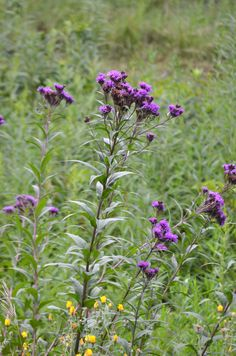 Vernonia fasciculata - Common Ironweed: Available at Prairie Moon Nursery