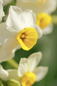 #daffodils #flowers #spring | www.caduferra.it