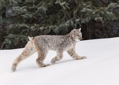 Colleen Gara on Instagram: A wild Lynx kitten on the move in the Canadian Rockies.