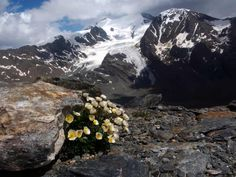 Alpine plants face extinction as melting glaciers force them higher, warns study | Environment | The Guardian Alpine Flowers, Alpine Plants, Convention On Biological Diversity, Glaciers Melting, Alpine Meadow, Natural Park, Plant Species, The Guardian