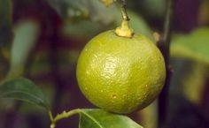 Aceite Esencial de Bergamota- Citrus Bergamia Perfume, Clip, Pear, Fruit, Palette, Chill Pill, Essential Oils, Herbs, Productivity