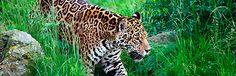 Douglas Marín  (EFEverde).- El felino mas grande del continente americano, que además está en peligro de extinción, contará pronto con un gran corredor biológico desde México hasta Argentina, concebido para que los ejemplares del norte y del sur puedan relacionarse y preservar la especie.