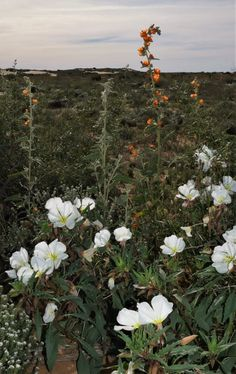 Sahara Mustards: Why I Weed The Desert, And Why You Should Help Me. – Jan Emming Desert Ecosystem, Desert Gardening, Mojave Desert, Primroses, Verbena, Weeding, Ecology, Wild Flowers, Mustard