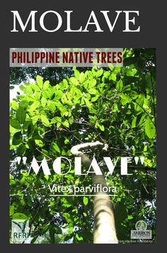 """MOLAVE (Vitex parviflora) The Molave tree is known for its strength and resiliency! It is also great for sediment retention. Sadly, Molave is classified as 'endangered' under DENR DAO 2007-1. """"Protect our trees, our forests- our source of life!"""" Visit our website: www.rainforestation.ph Articles about this tree: Bareja, B. The Uses of Molave Tree, they are amazing. August 2013. Bike Work Stand, Forest Plants, Wood Tree, Flowering Trees, Botany, Trees To Plant, Nativity, Flora, Strength"""