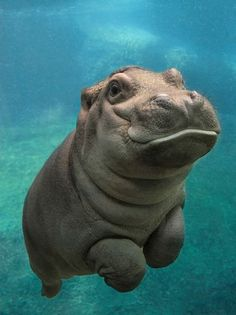 These adorable pictures of baby hippo redefine cuteness overload - Meerestiere - Animal Cute Little Animals, Cute Funny Animals, Cute Pets, Adorable Baby Animals, Adorable Babies, Cute Baby Dogs, Cute Wild Animals, Cute Animals Puppies, Crazy Animals