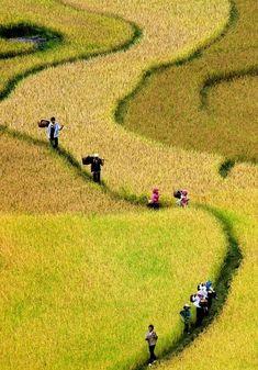 """Rice paddies"", Vietnam... my people ;-) Hanoi, Vietnam Voyage, Vietnam Travel, Places To Travel, Places To See, Places Around The World, Around The Worlds, Beautiful World, Beautiful Places"