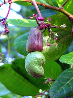 Guatemala Cashew nuts growing on a tree that was next to the restaurant of the resort. Farm Pictures, Garden Pictures, Fruit And Veg, Fruits And Vegetables, Cashew Tree, Beautiful Fruits, Unusual Plants, Tropical Fruits, Seed Pods