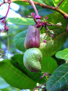 cashews nuts, Guatemala