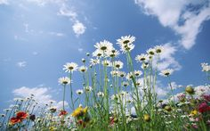 Thousands of high quality widescreen wallpapers for Widescreen Lcd Monitors. Blooming flowers under sunshine - White Daisy Sky - Wild Daisy Flower Spring Wallpaper, Flower Wallpaper, Widescreen Wallpaper, Wallpaper Backgrounds, Desktop Wallpapers, Blooming Flowers, Wild Flowers, Champs, Daisy Flower Photos