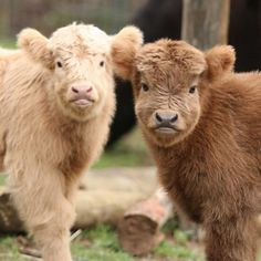 cute baby If You Ever Feel Sad, These Highland Cattle Calves Will Make You Smile Baby Farm Animals, Baby Cows, Cute Little Animals, Cute Funny Animals, Animals And Pets, Cow Pictures, Baby Animals Pictures, Cute Animal Pictures, Cute Baby Cow