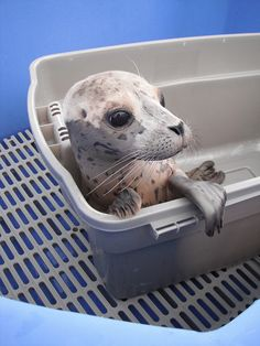 Art Pacific Harbor Seal pup at Marine Mammal Rescue, where orphaned and injured marine mammals are rehabbed and released. things-that-make-us-smile Seal Pup, Baby Seal, Cute Animal Videos, Cute Animal Pictures, Animals Photos, Vancouver Aquarium, Harbor Seal, Unusual Animals, Cute Creatures