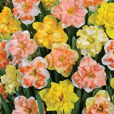 Daffodil Butterfly Mixture 10 / $14.99 with my mailer. Go to brecks.com/supersale - just ordered for my 2014 garden addiction.
