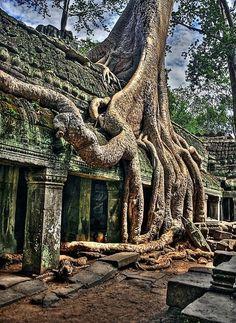 Cambodia; Angkor Wat. Impresionante, las raíces de los árboles de algodón de seda, han cubierto por completo el templo.