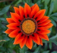 Google Image Result for http://us.123rf.com/400wm/400/400/Argument/Argument0903/Argument090300035/4416723-head-of-gazania--bright-orange-flower-native-to-southern-africa.jpg