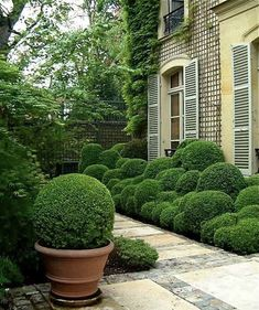 Cloud prune boxwood ; For visual interest, place a planter  with a tightly clipped boxwood ball in the foreground against a backdrop of cloud pruned shrubs. For more on cloud pruning techniques