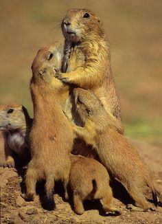 Black-tailed Prairie Dogs Photograph  - Black-tailed Prairie Dogs Fine Art Print
