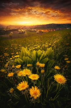 ~~Sun.tuario | golden hour with fields of golden flowers, spring sunset, Santuario di Vicoforte Mondovi, Italy | by Paolo Lombardi ~~