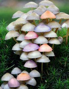 Umbrella Mushrooms.