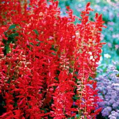 "Parks Whopper Lighthouse Salvia Seeds - 5-star customer favorite - 30""tall 10""wide - Full Sun, Part Shade, Shade"