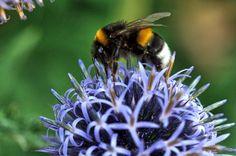 Mehiläinen, Globe Thistle, Luonto, Makro, Pölytys