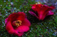 #love #follow #instadaily #igers #followme #igdaily #instagramers #instalove #instagood #photo #pic #picture #wu_japan #team_jp_ #team_jp_西 #ig_nippon #loves_nippon #igersjp #Far_EastPhotoGraphy #flower #plants #camellia #garden #flowerstagram #flowers #福岡 #福岡城 #舞鶴公園 #椿 (by negativemegane)