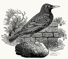 The starling.  Thomas Bewick, from A history of British birds, by Thomas Bewick, Ralph Beilby, and Henry Cotes, Newcastle, 1809.  (Source: a...