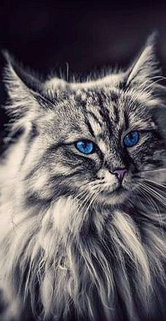 AMAZING fluffy CAT with blue Eyes #photo by Pat Jimi Stauffer #cats kitty kitten animal pet fur fluffy cute amazing long hair