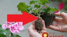 Záhradkári, medzi koreninami máte hotový poklad: Odložte si jednej balík škorice bokom, s rastlinkami dokáže zázraky! Herbs, Plants, Gardening, Lawn And Garden, Herb, Plant, Planets, Horticulture, Medicinal Plants