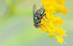 Anti mouche naturel et répulsif pour vite tuer les mouches et les éloignes!  tips fly die
